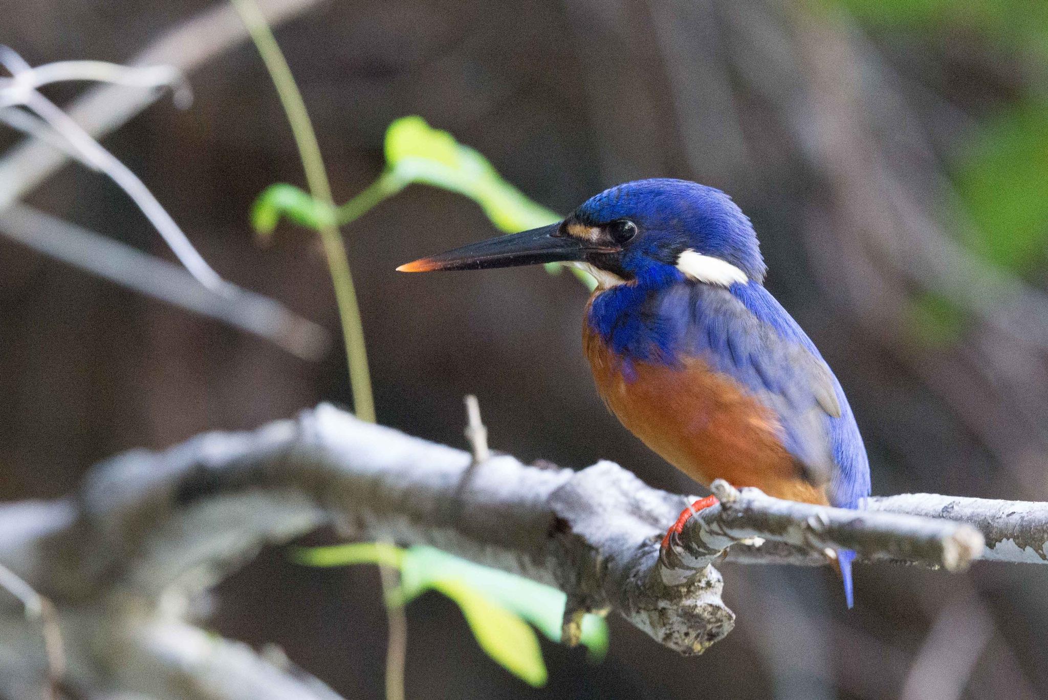 Azure Kingfisher by chrisgnixon