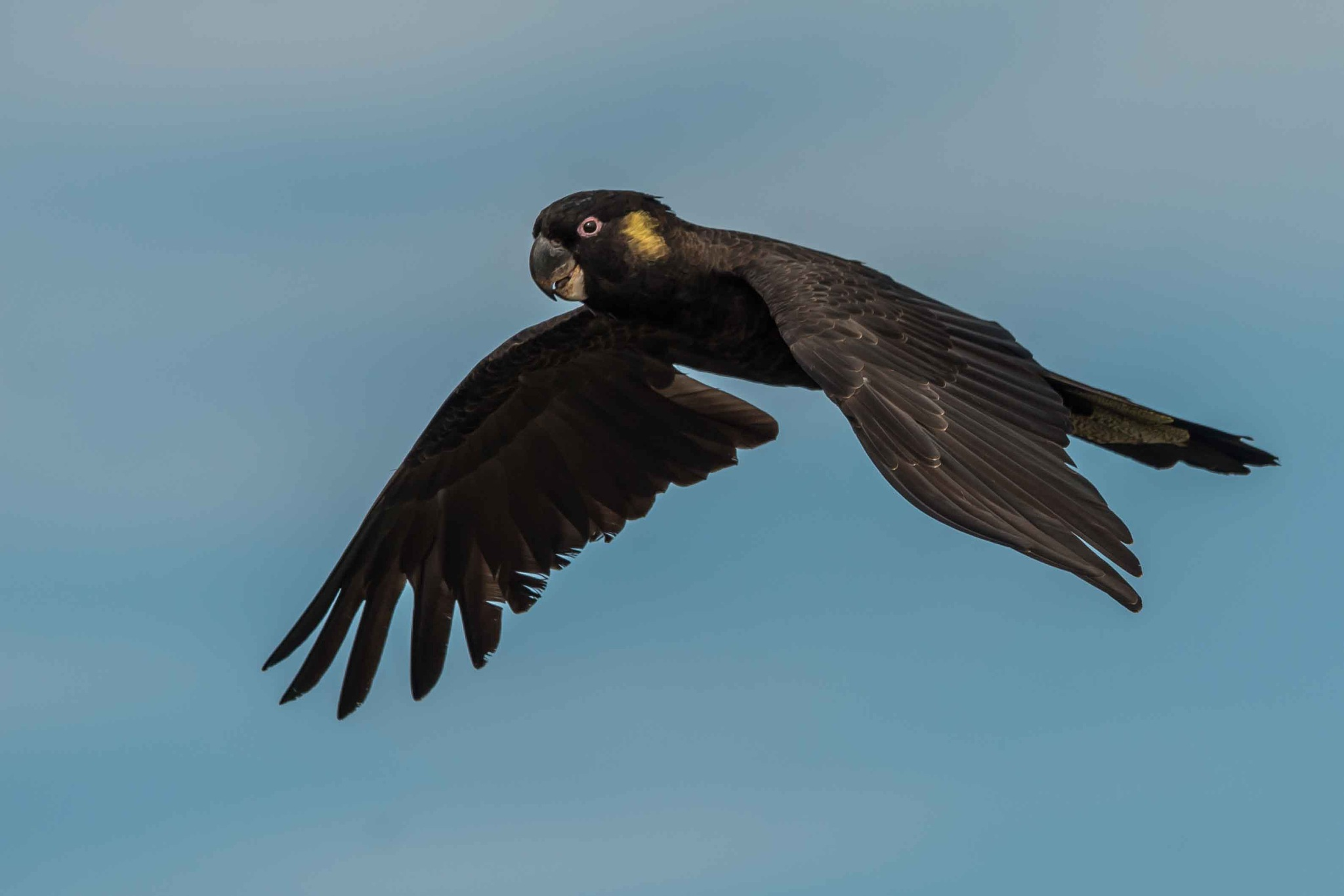 Yellow-tailed Cockatoo by chrisgnixon