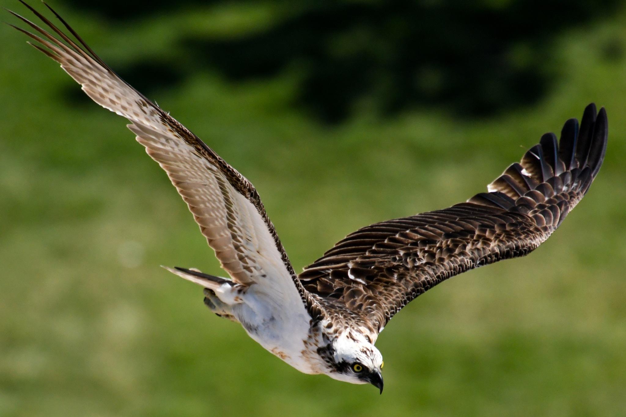 Osprey soaring by chrisgnixon
