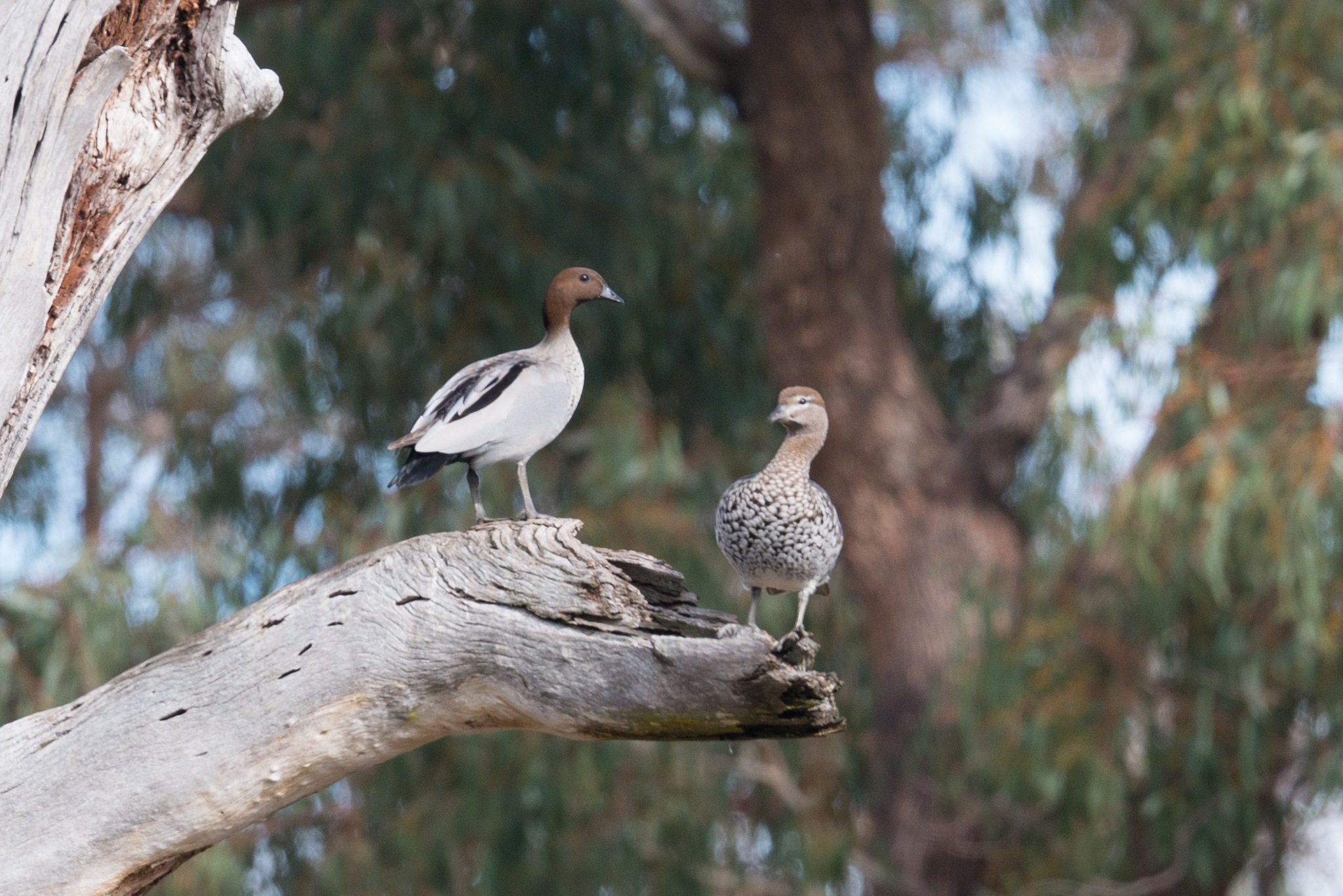 Wood ducks by chrisgnixon