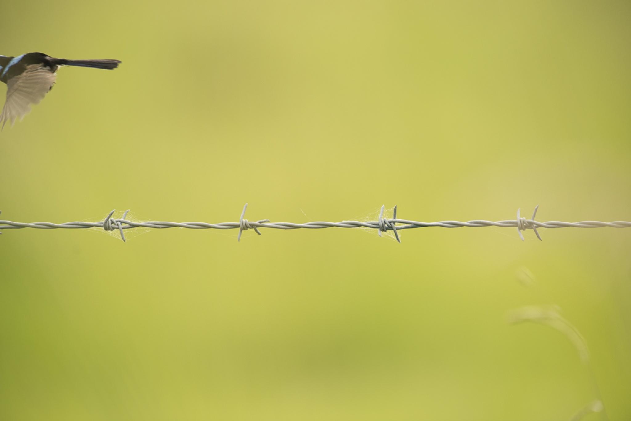 Superb Fairy-wren by chrisgnixon
