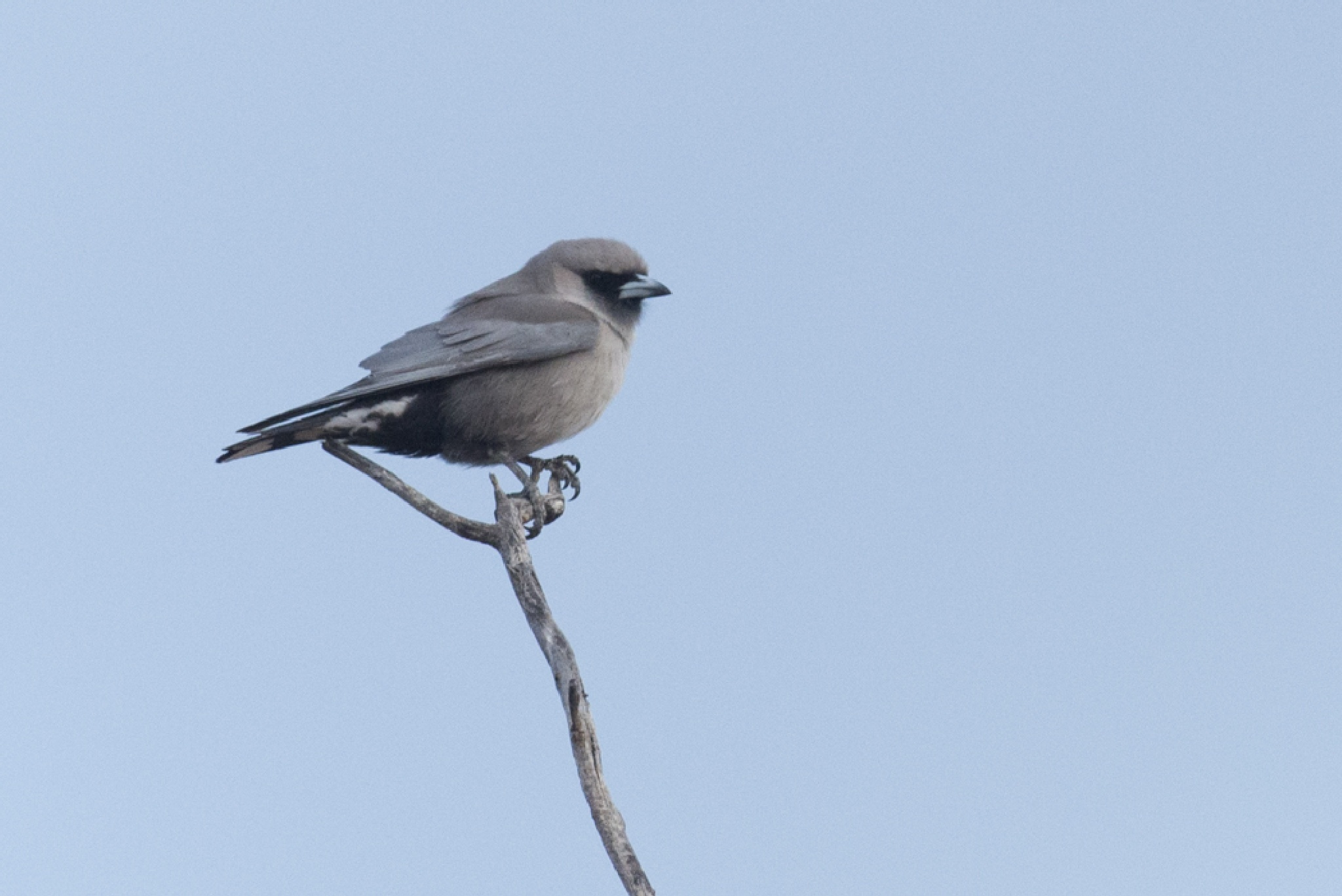 Wood-swallow by chrisgnixon