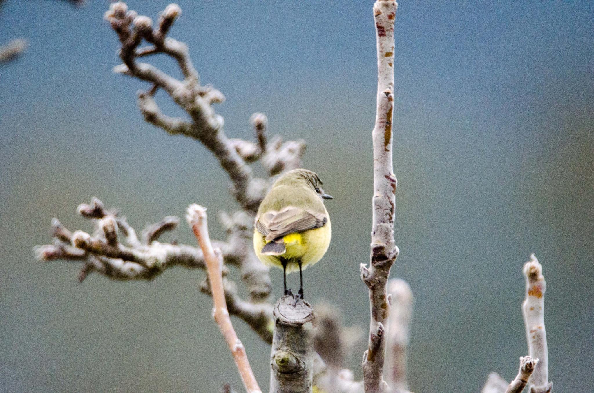 Yellow-rumped Thornbill by chrisgnixon