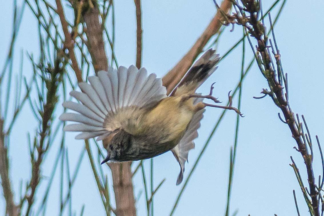 Thornbill in flight by chrisgnixon