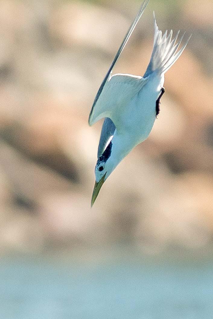 Tern diving by chrisgnixon