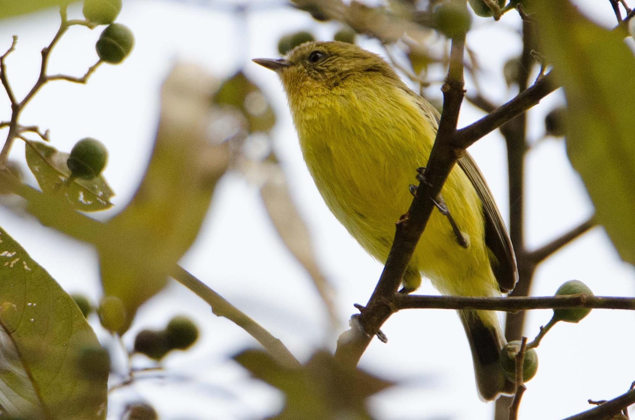 Yellow thornbill by chrisgnixon