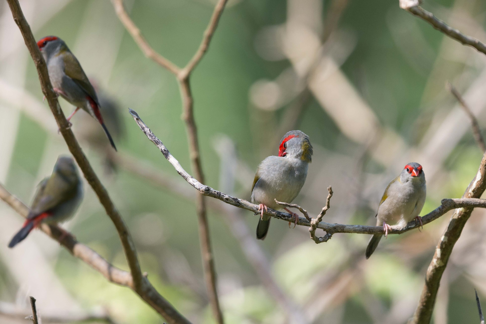 Red-browed Finch by chrisgnixon