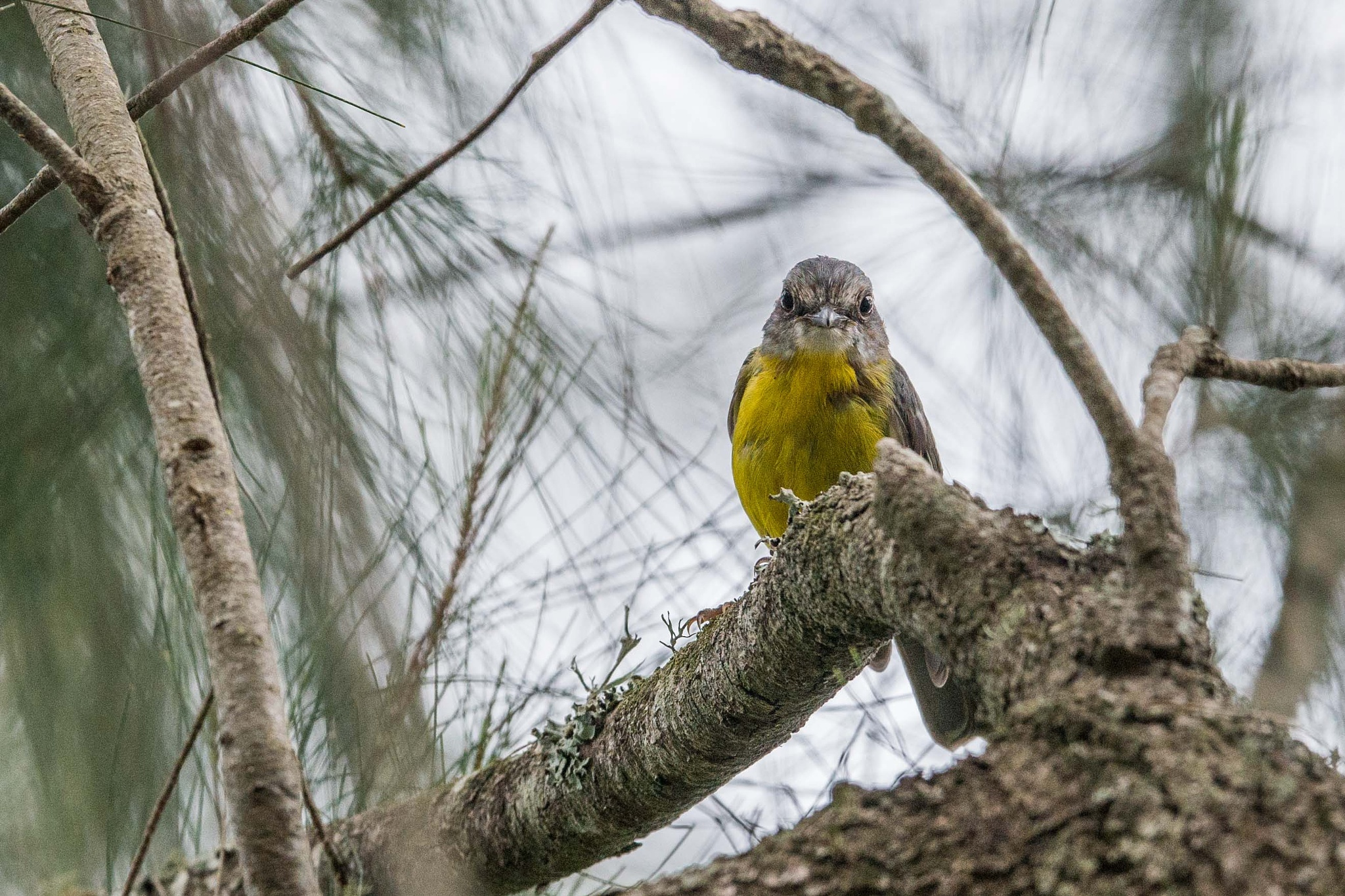Juvenile Eastern Yellow Robin by chrisgnixon