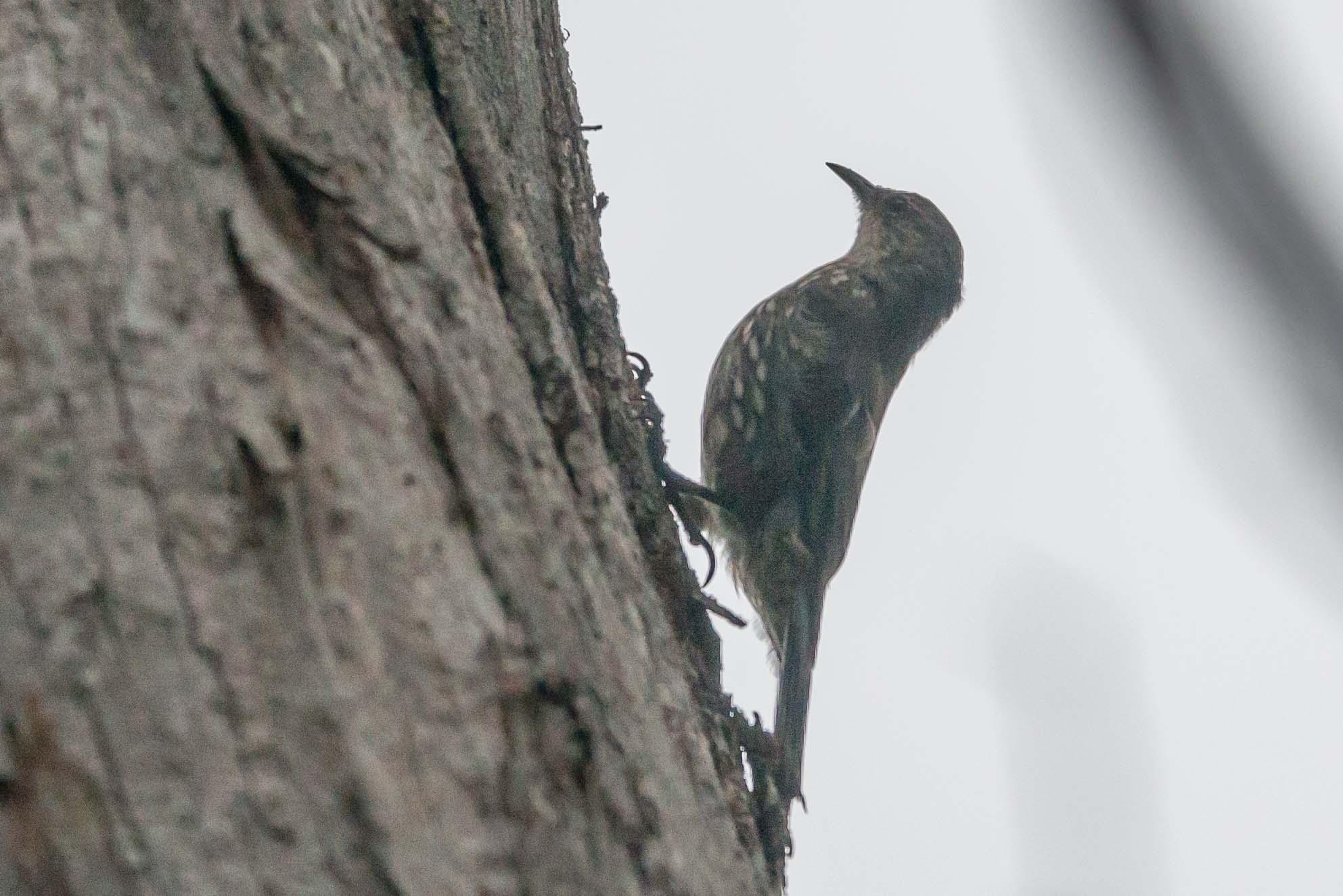 Tree-creeper by chrisgnixon