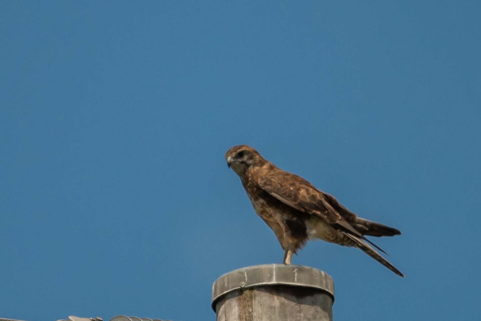 Brown Falcon sitting on a post by chrisgnixon