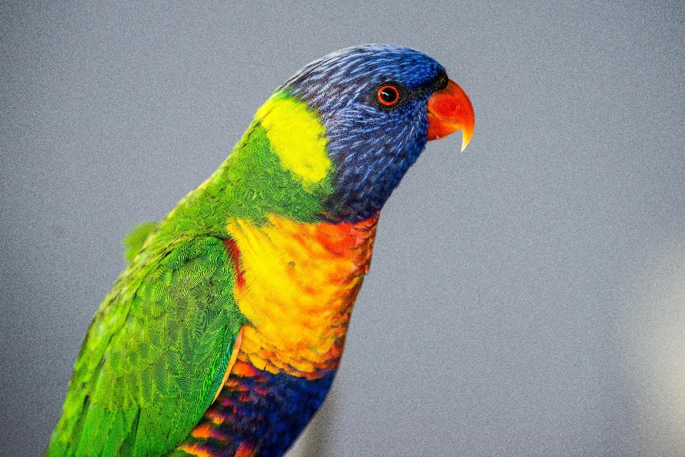 Rainbow Lorikeet by chrisgnixon