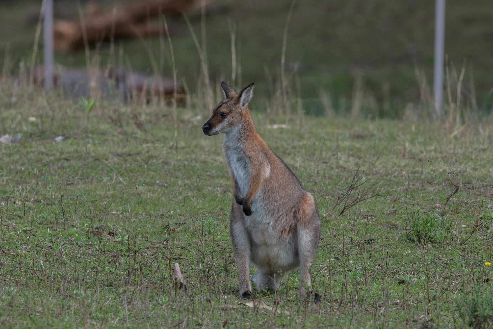 Marsupial by chrisgnixon