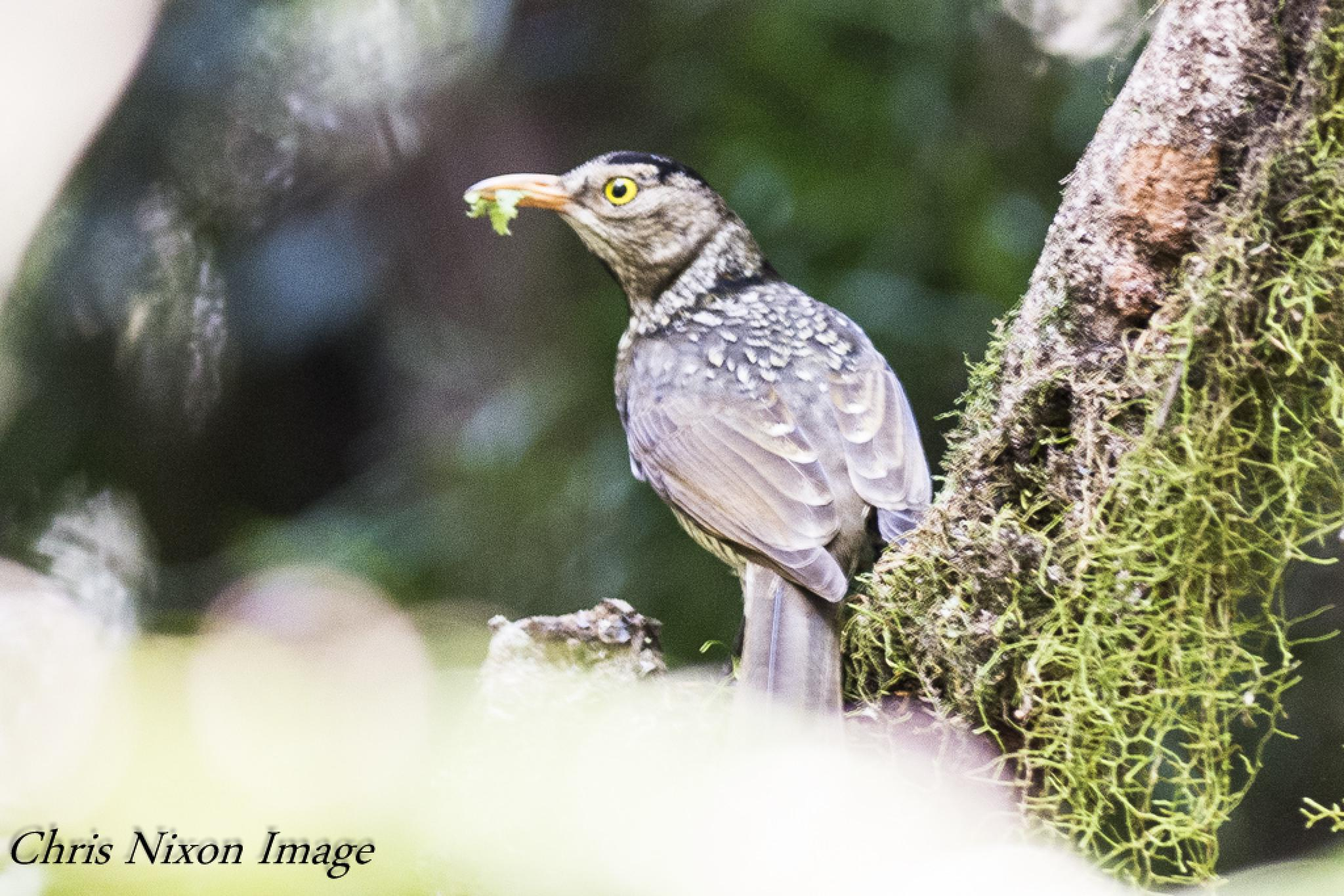 Regent Bowerbird by chrisgnixon