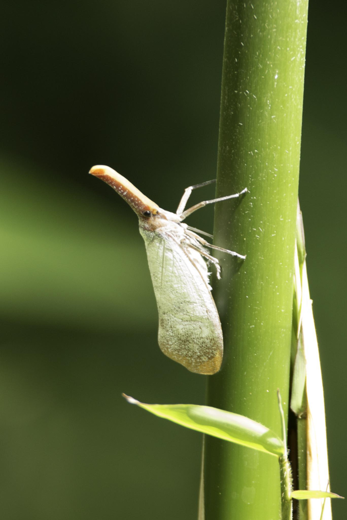 Lantern Beetle by chrisgnixon