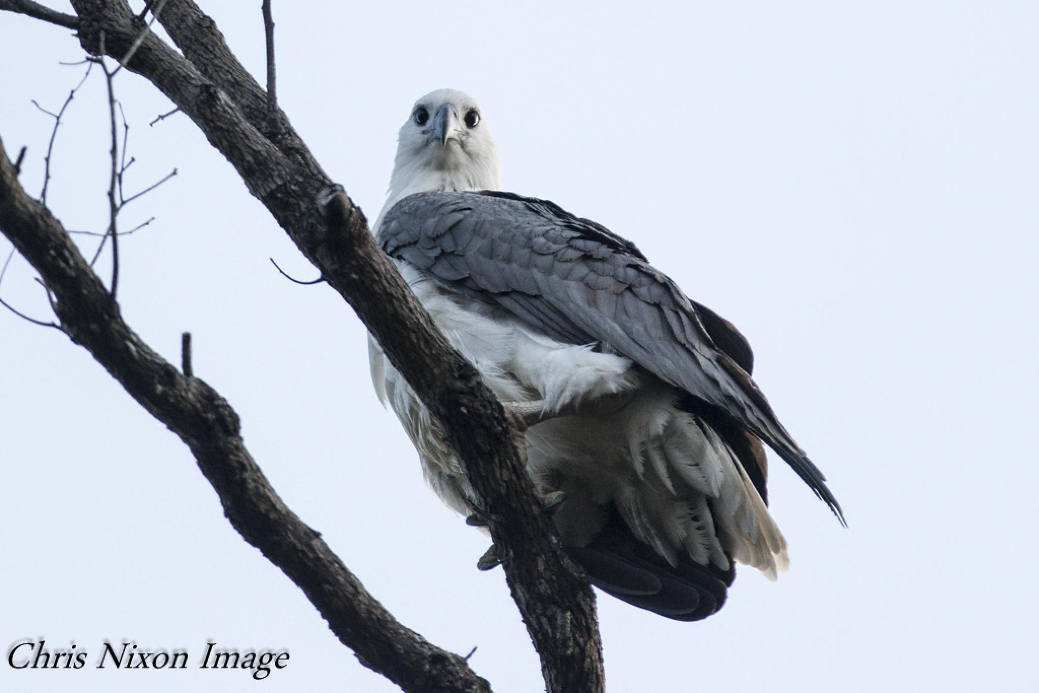 White-bellied Sea Eagle by chrisgnixon