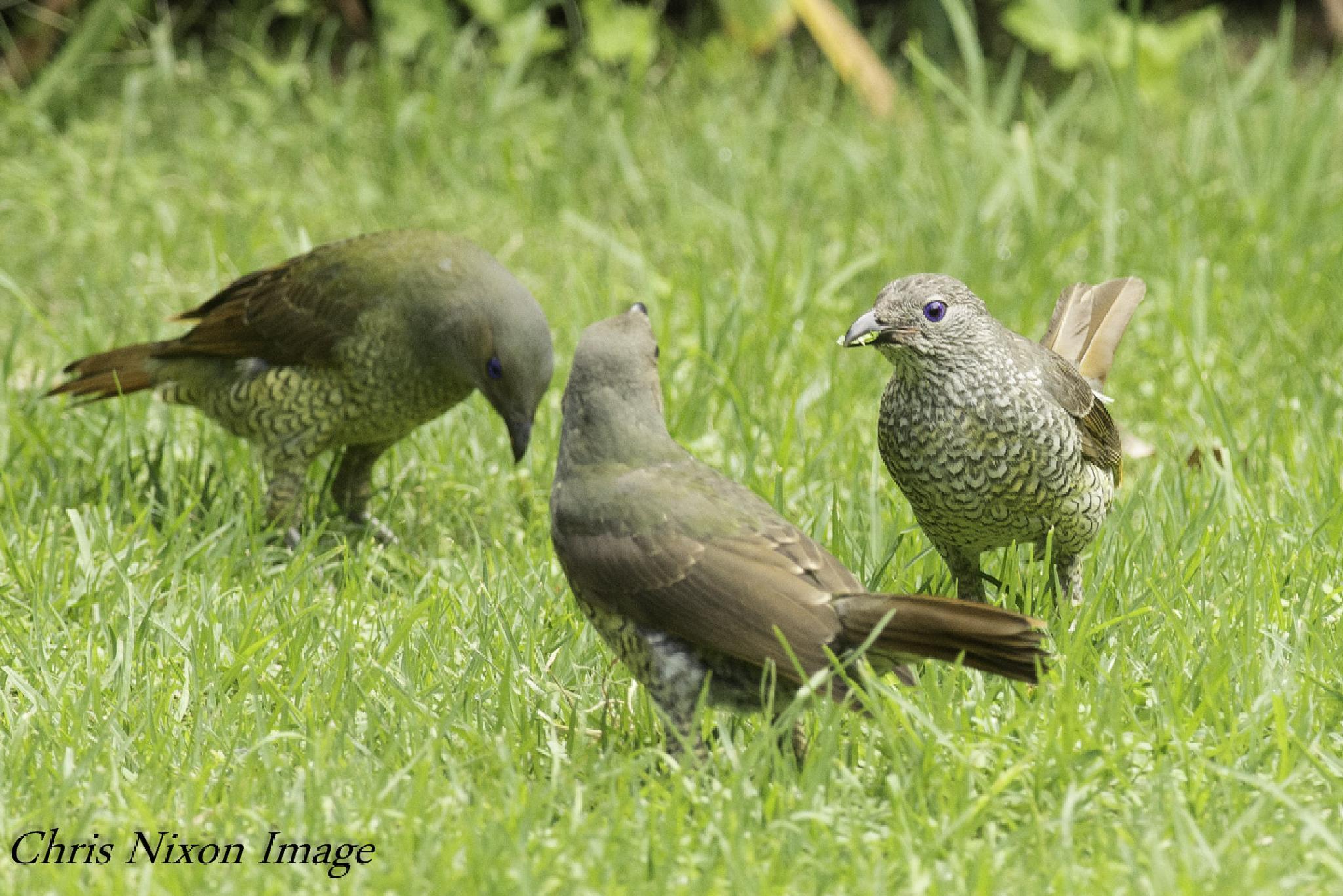 Satin Bowerbirds by chrisgnixon