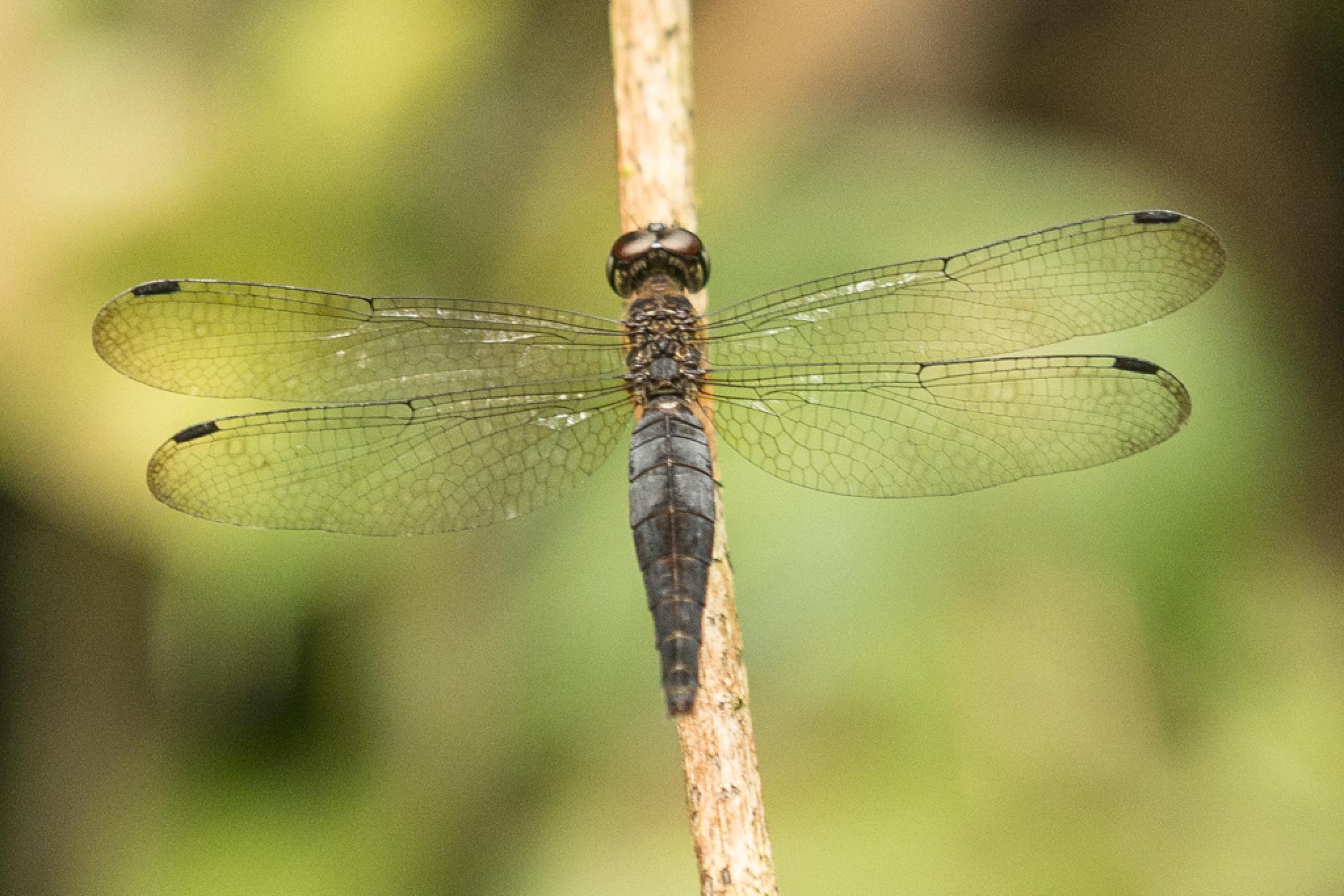 Dragonfly by chrisgnixon