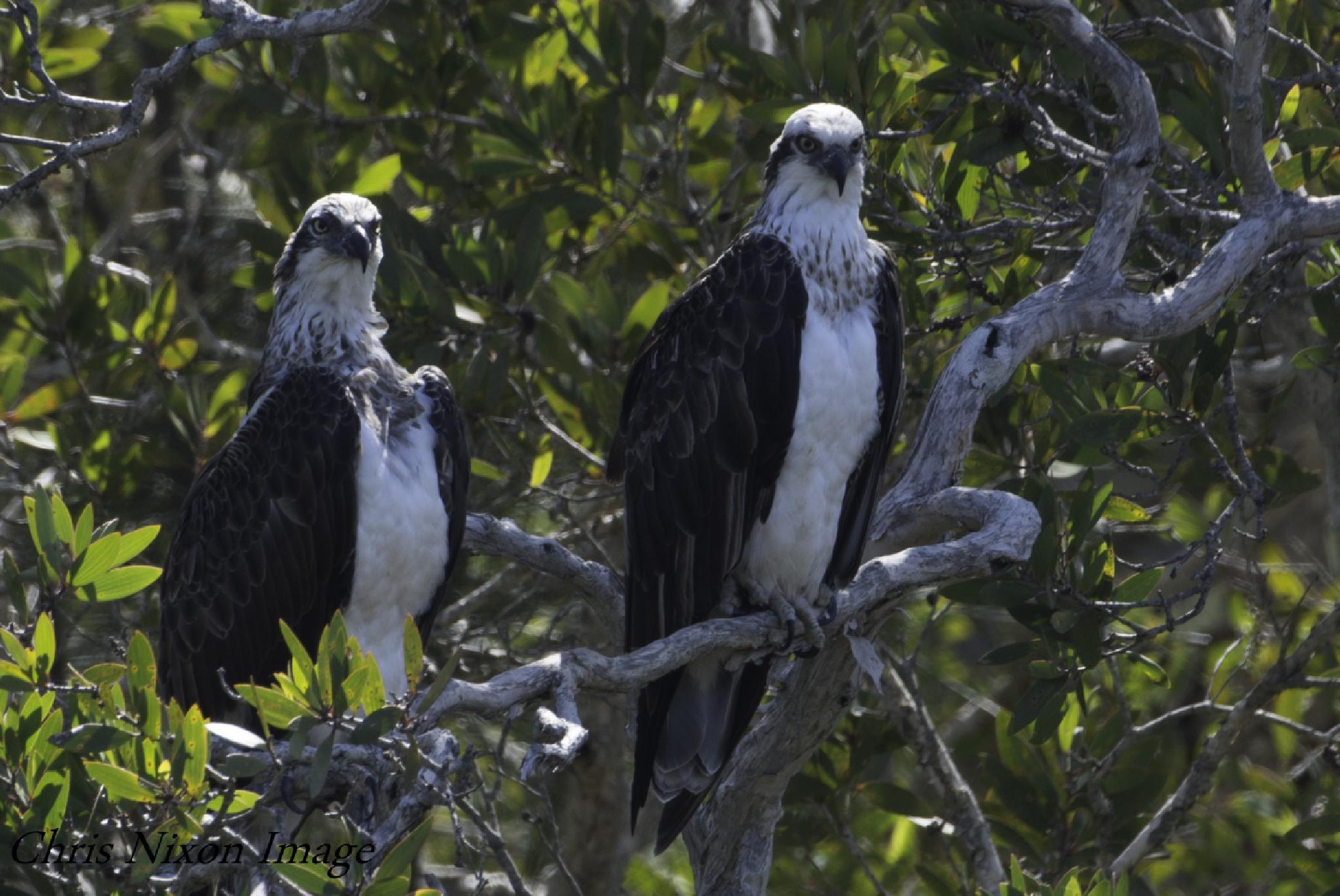 Osprey pair by chrisgnixon