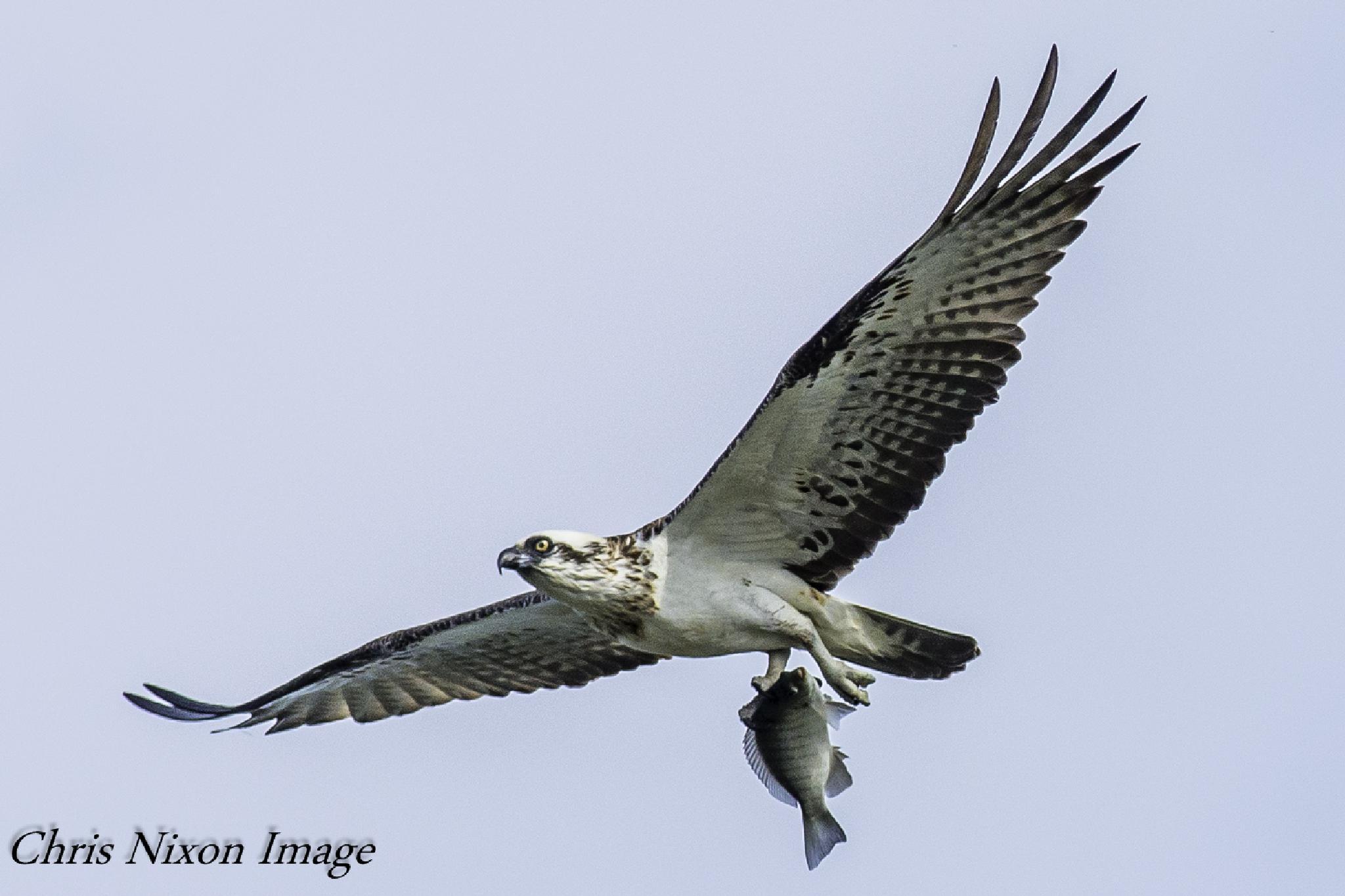 Osprey by chrisgnixon