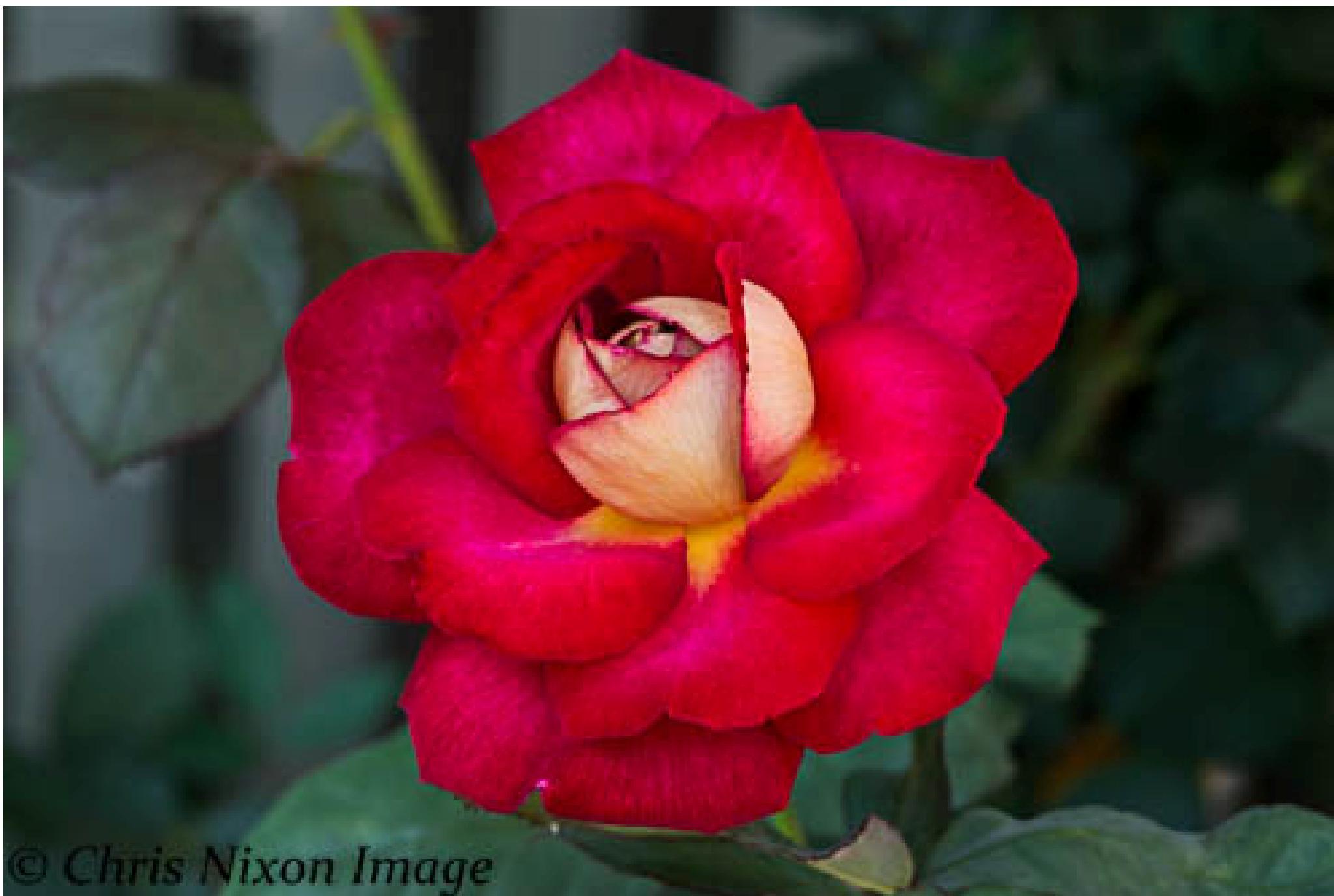 Rose by chrisgnixon