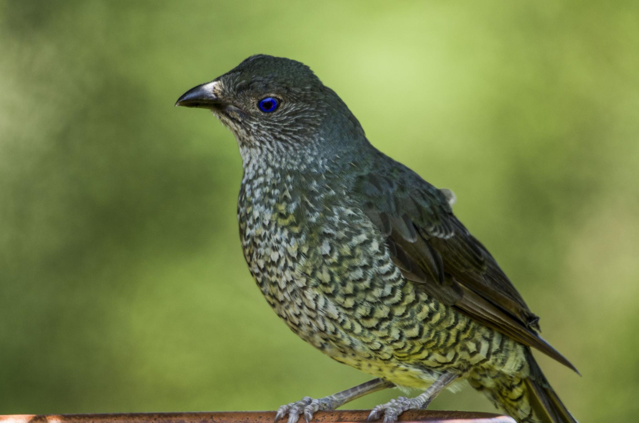 Satin Bowerbird by chrisgnixon