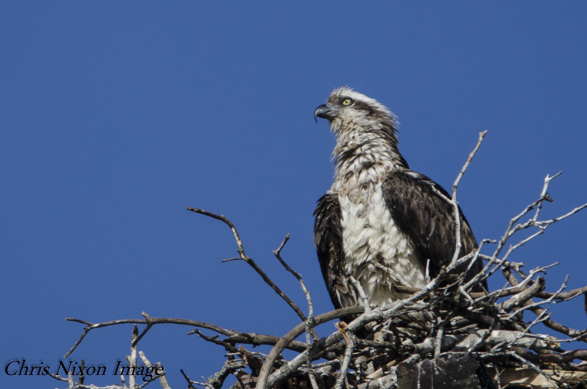 Osprey on nest by chrisgnixon