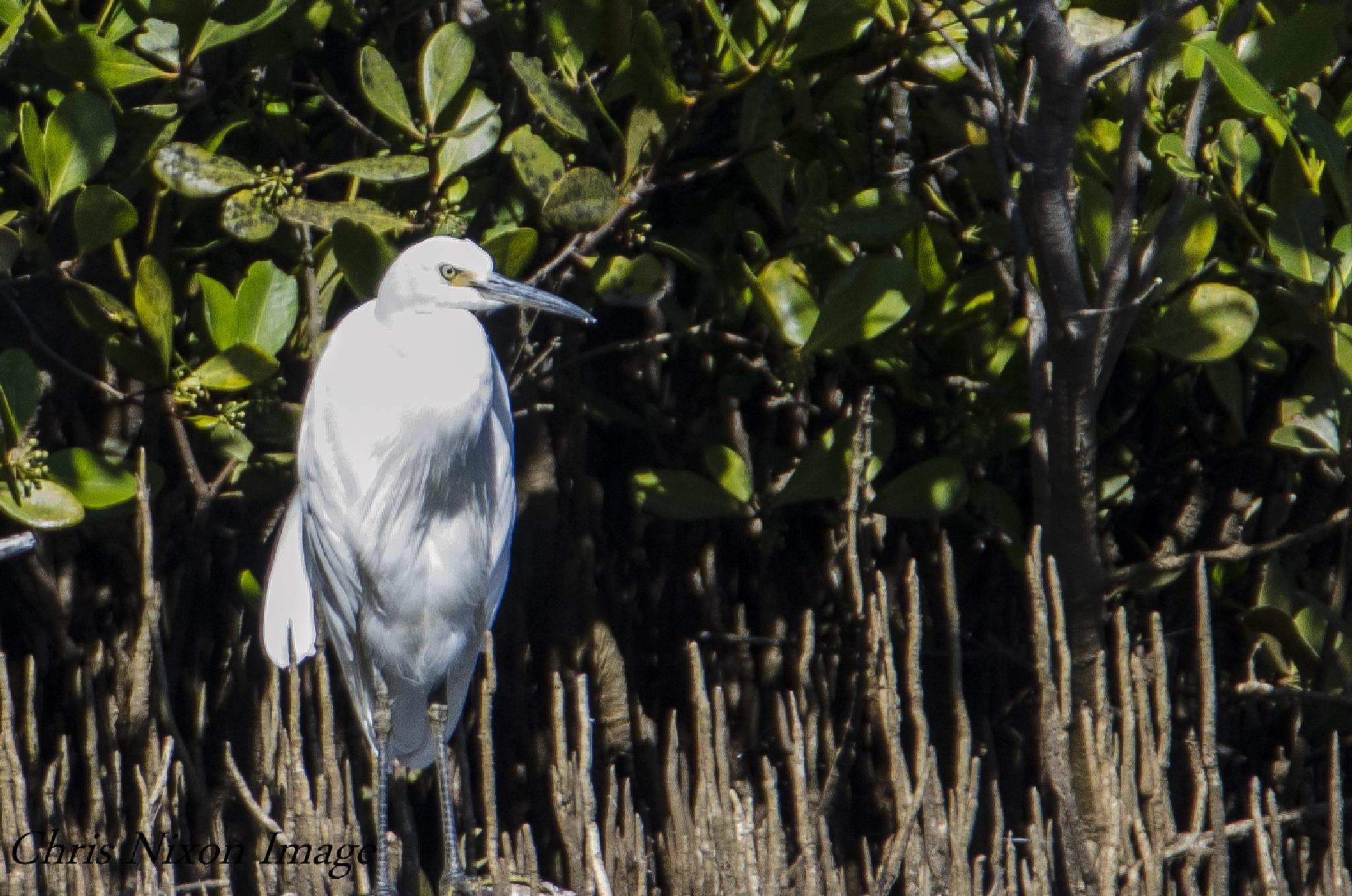 Egret by chrisgnixon