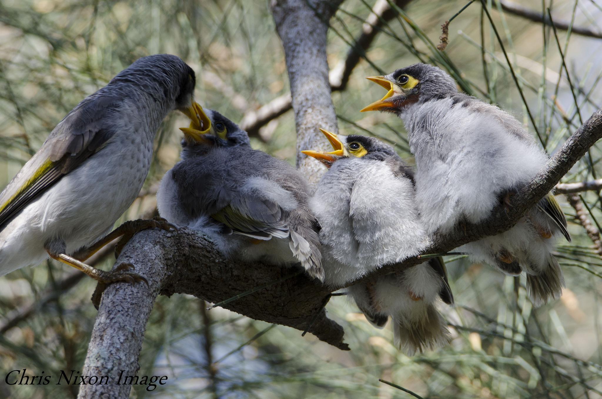 Noisy Miner birds by chrisgnixon