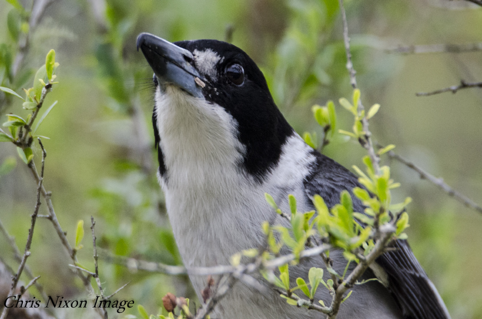 Pied Butcher bird by chrisgnixon