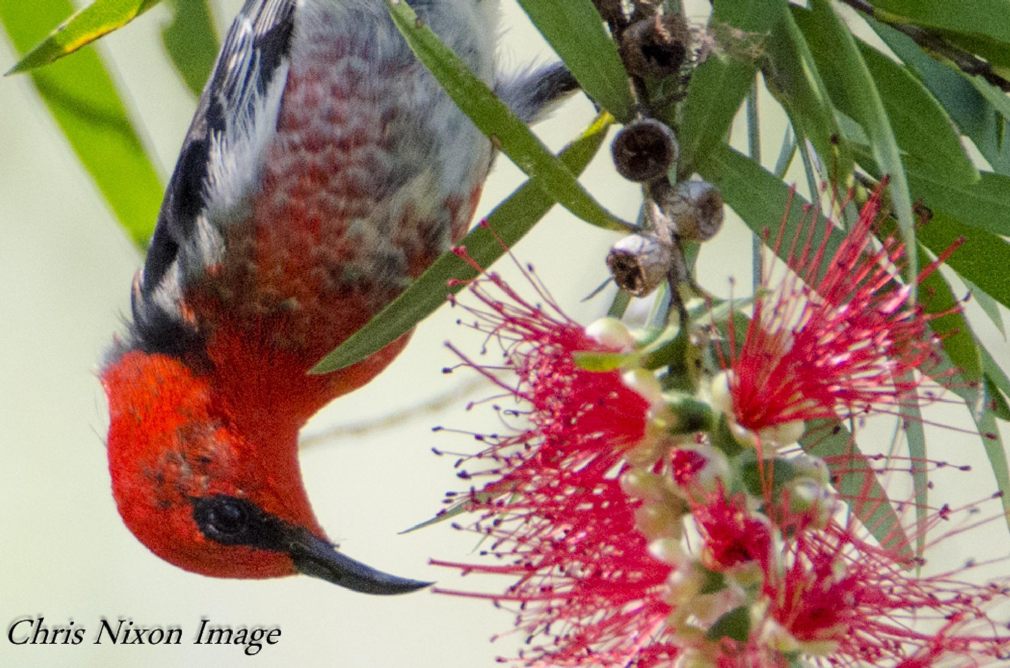 Scarlet Honey-eater by chrisgnixon
