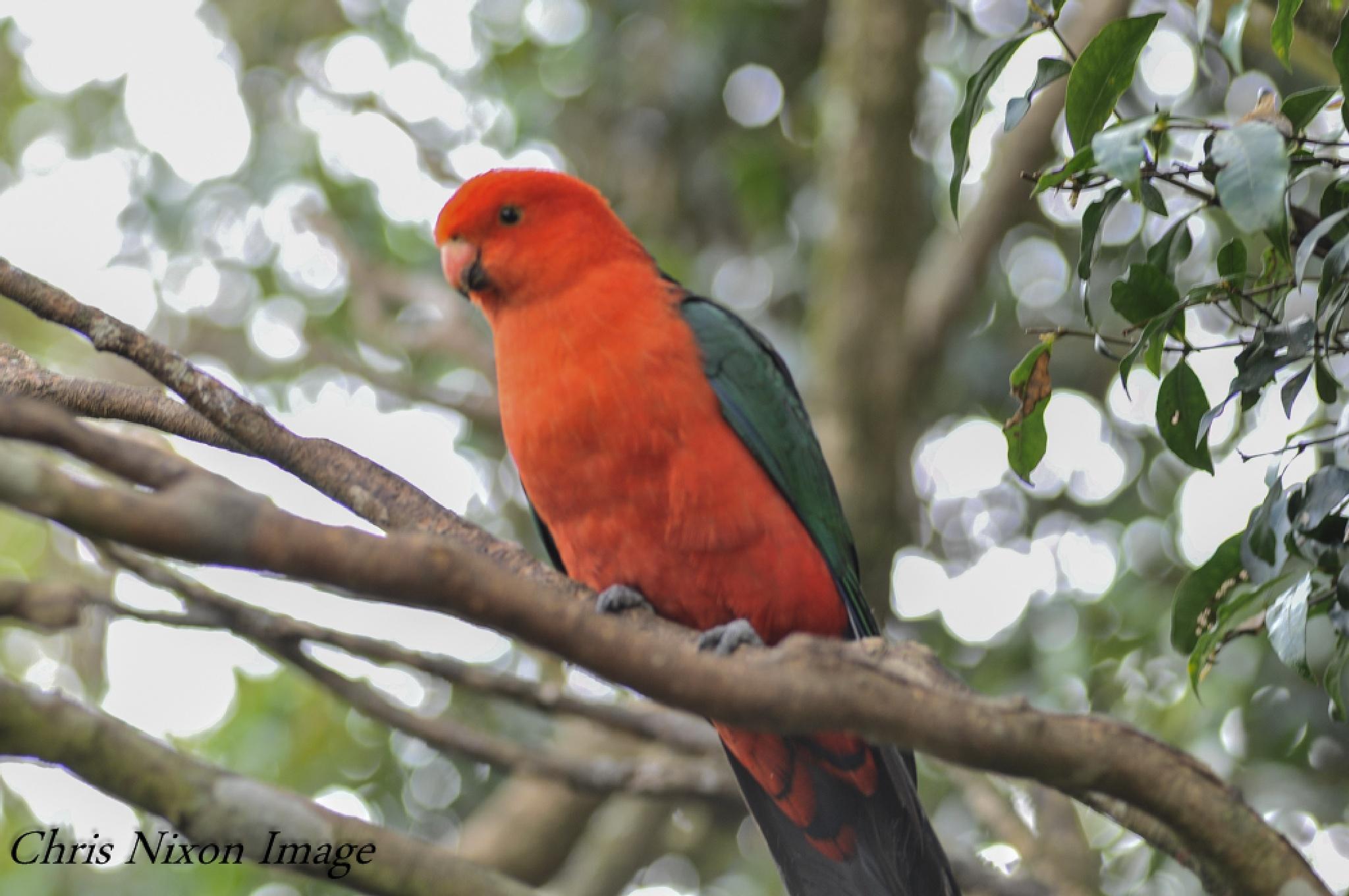 Australian King-parrot Female by chrisgnixon