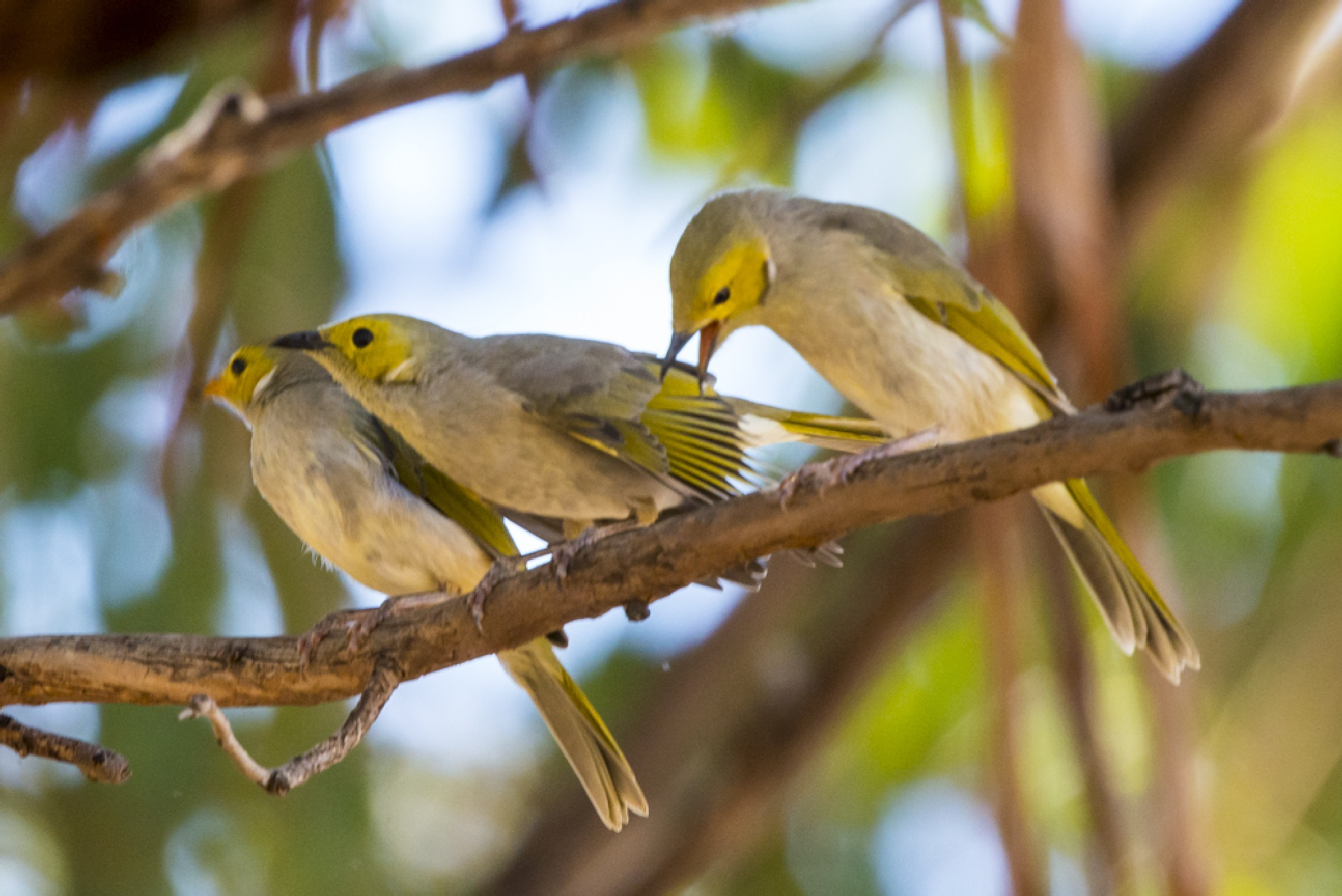 Young Honey-eaters by chrisgnixon