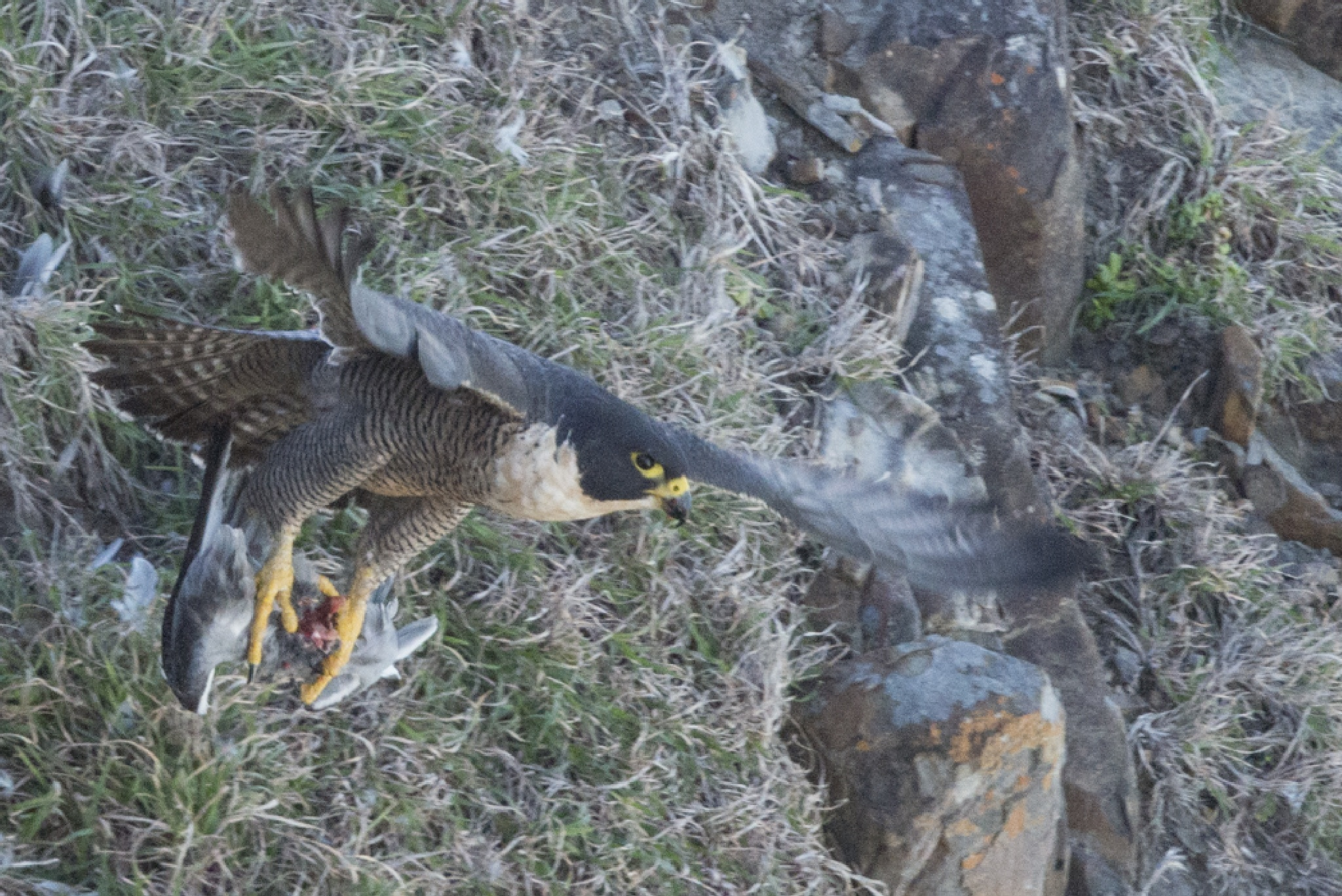 Peregrine Falcon by chrisgnixon