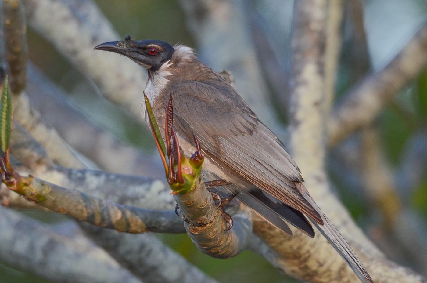 Noisy Friarbird  by chrisgnixon
