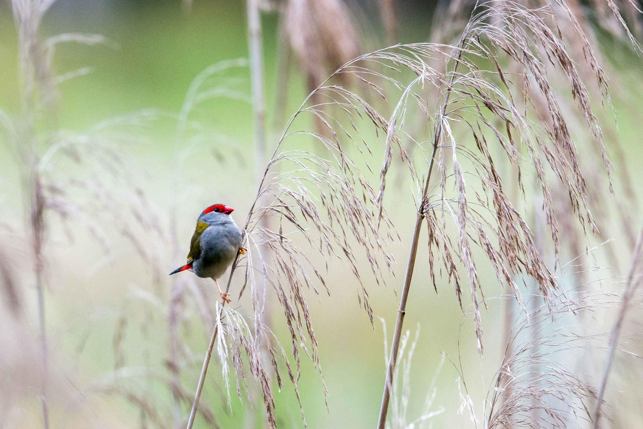 Red-browed Finch by chrisgnixon