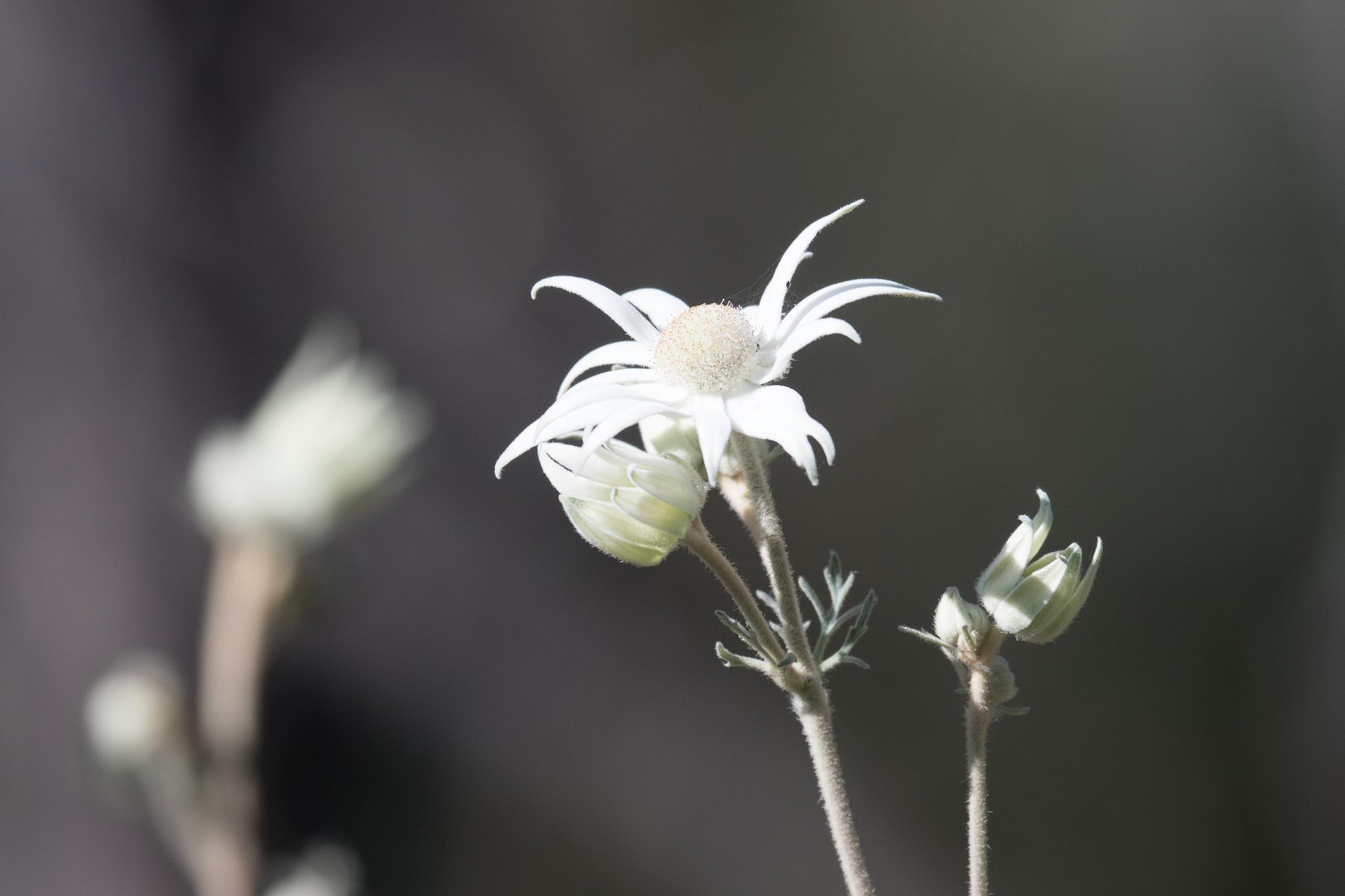 Flannel Flower by chrisgnixon