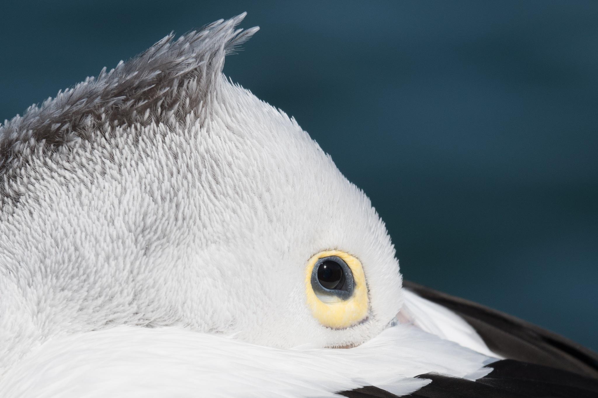Australian Pelican by chrisgnixon