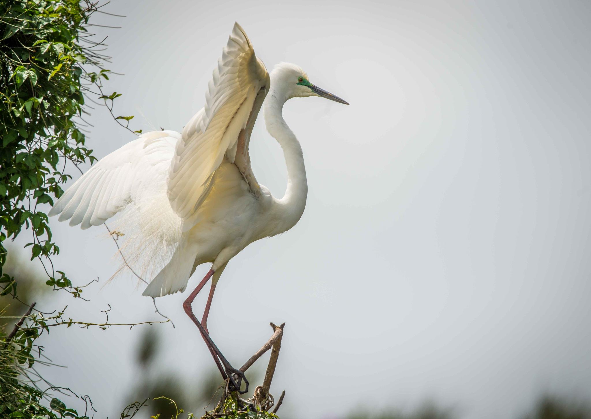 Great Egret by chrisgnixon