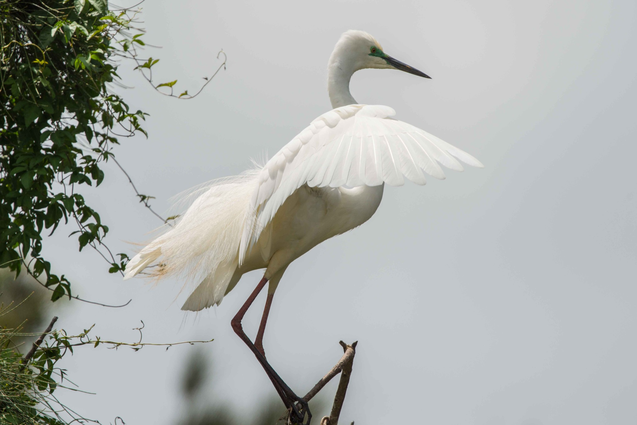 Great Egret 2 by chrisgnixon
