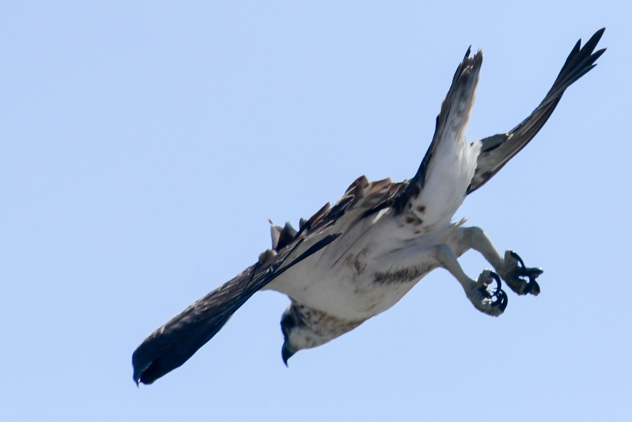 Osprey in a dive by chrisgnixon