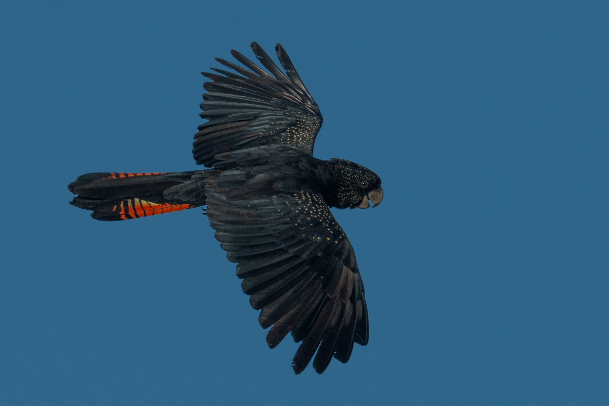 Red-tailed Black-cockatoo by chrisgnixon