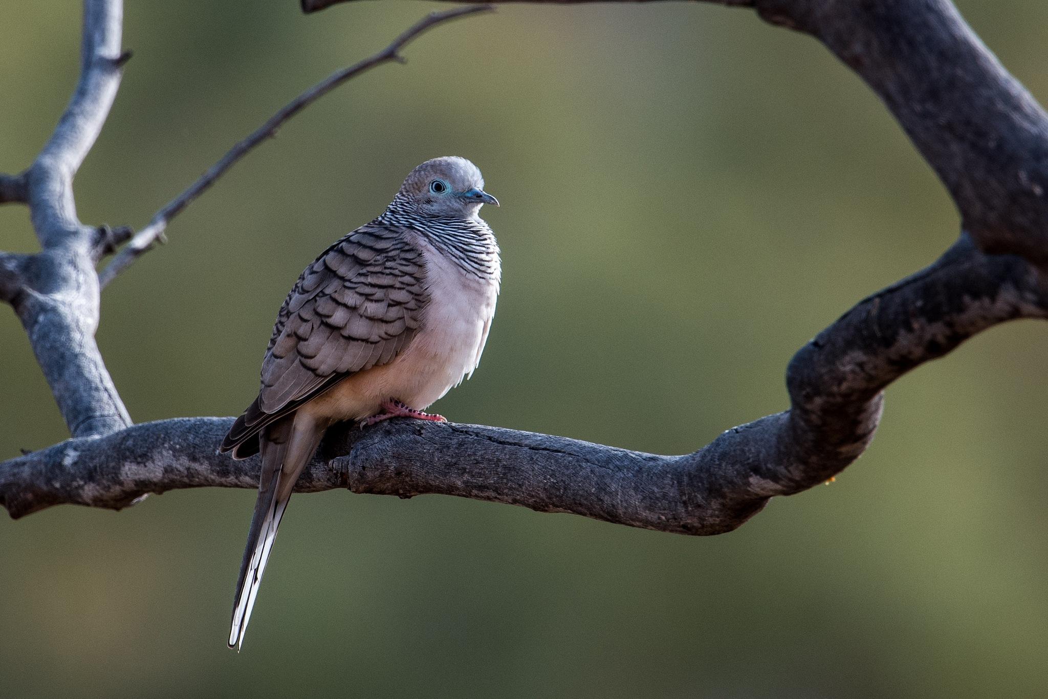 Peaceful Dove by chrisgnixon