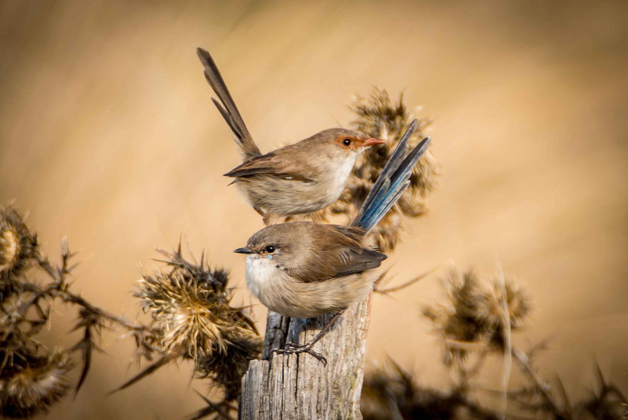Superb Fairy-wrens by chrisgnixon