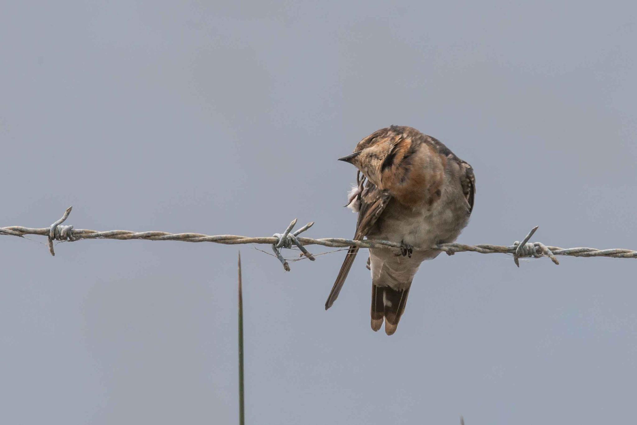 Swallow by chrisgnixon