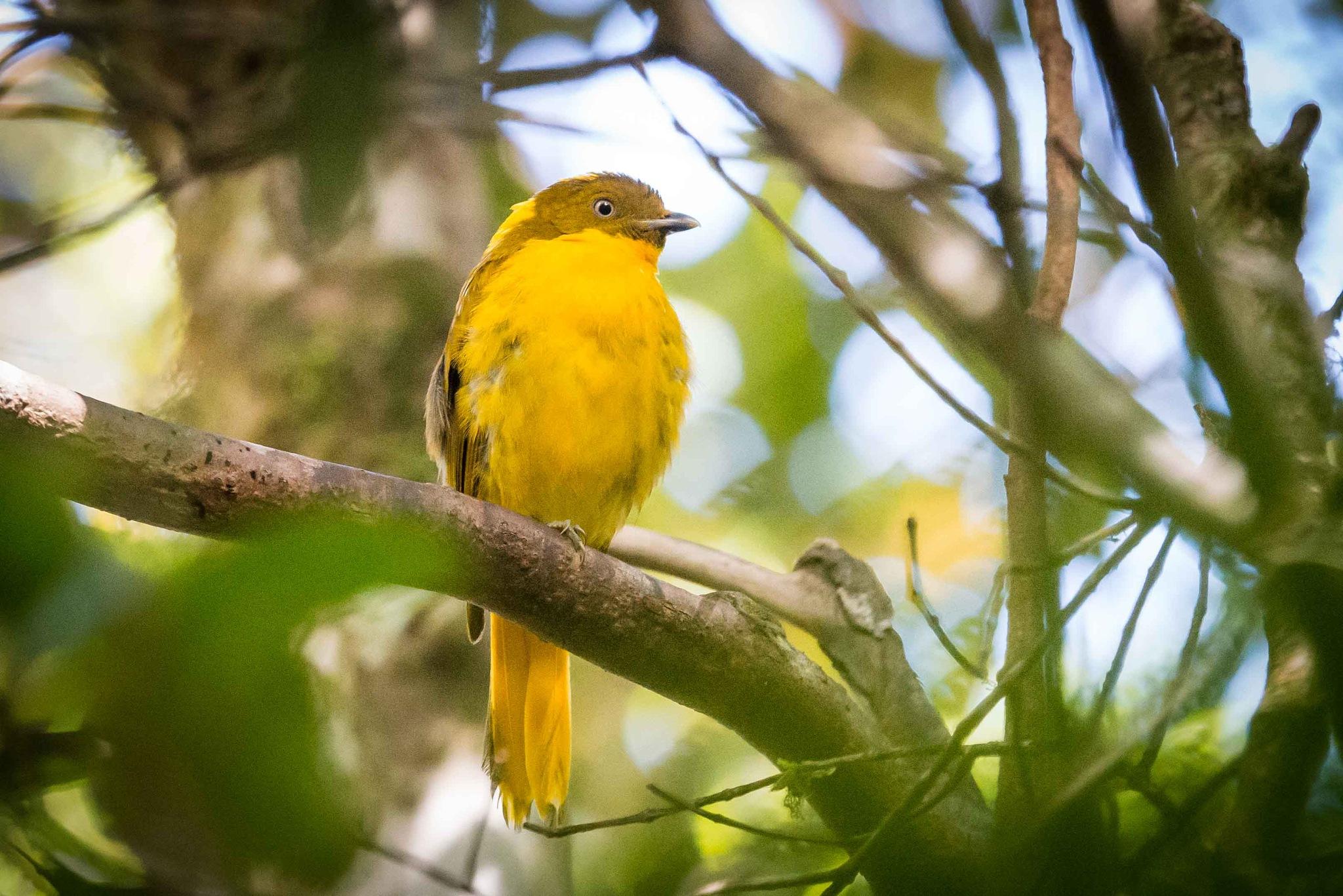 Golden Bowerbird by chrisgnixon