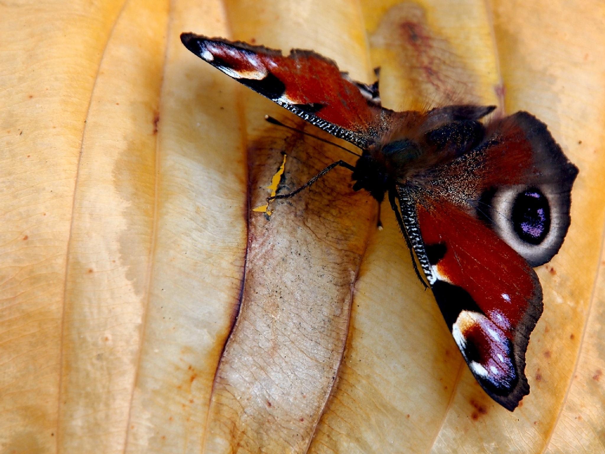 butterfly by Zbigniew Włodarski