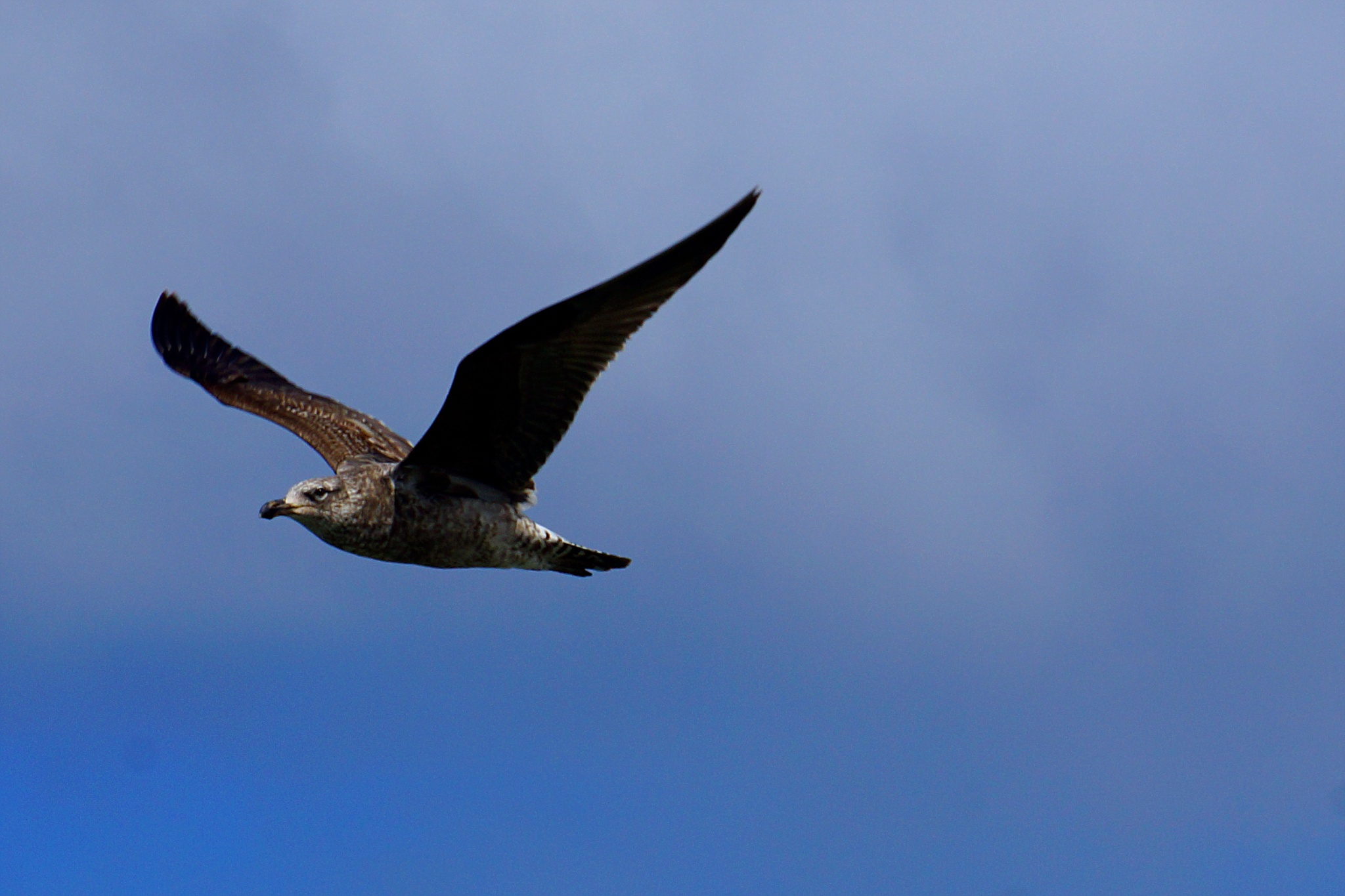 Brindle Seagull by Peter J Dwight
