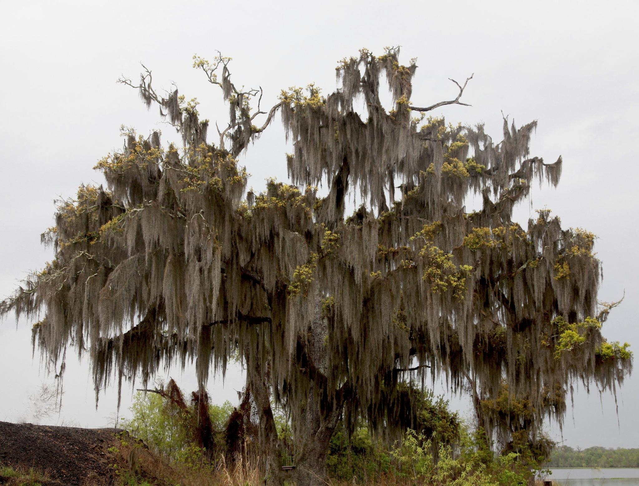 Spanish Moss covered tree by mitchellsunday53