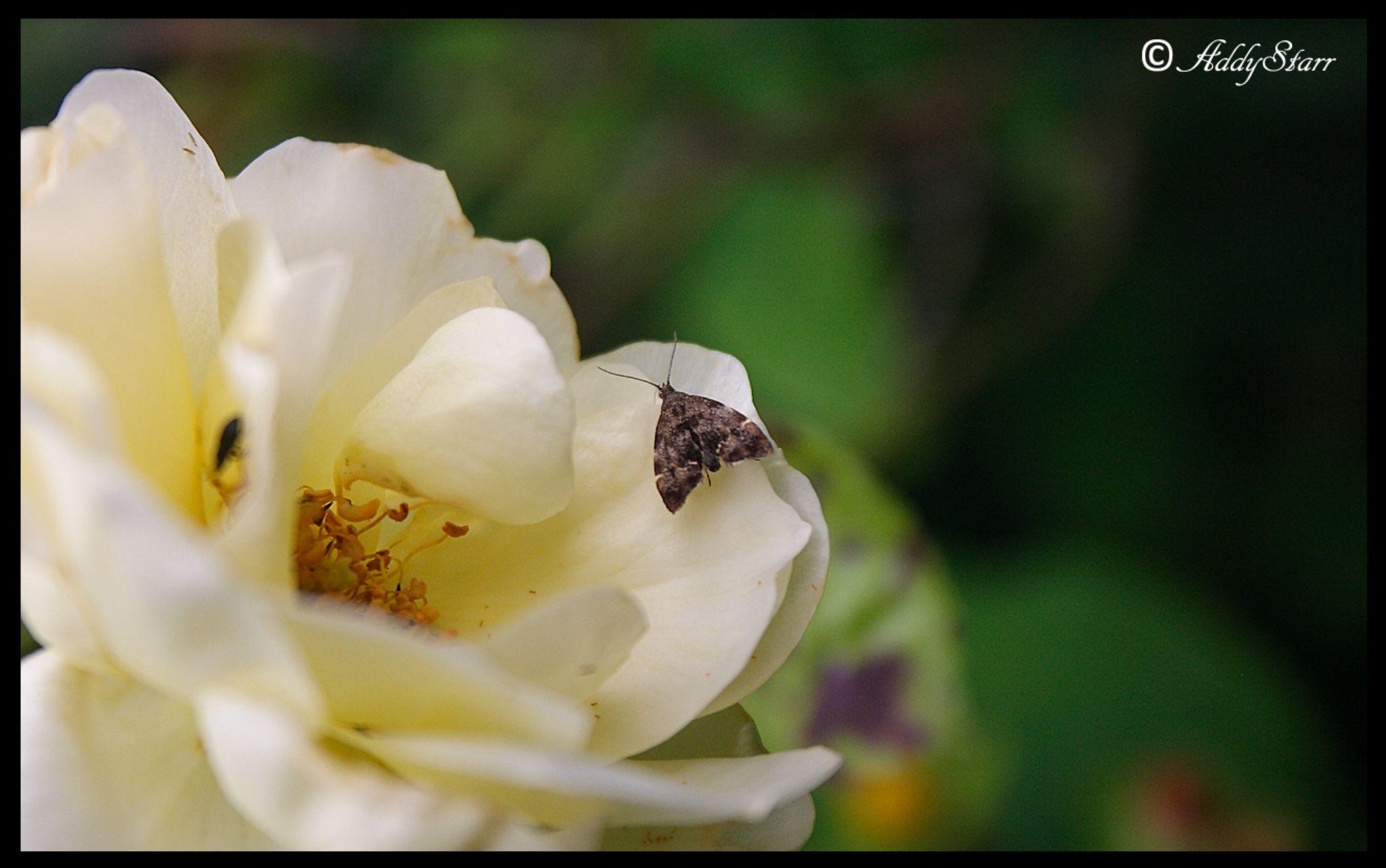 Moth by Addy Starr