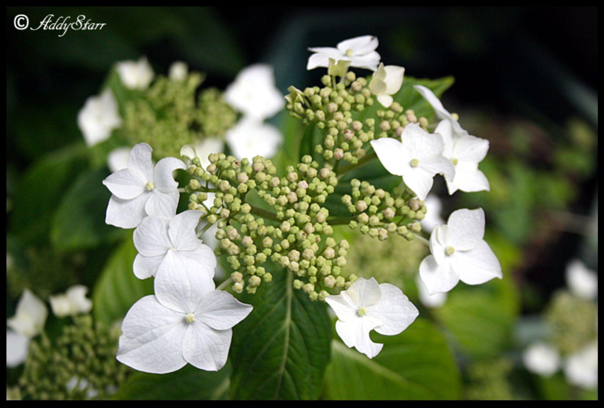 Flowers by Addy Starr